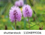 small violet flower | Shutterstock . vector #1104899336