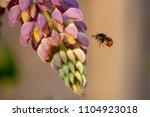 Bombus Lapidarius Is A Species...