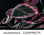 pink leaves of calathea plant... | Shutterstock . vector #1104998174