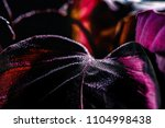 close up of calathea plant with ... | Shutterstock . vector #1104998438