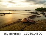 Small photo of Horseshoe crab or King crab on the rock beach. Seascape and cloudscape on background. Selective focus and free space for text.