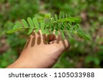 hand of farmer growing and... | Shutterstock . vector #1105033988