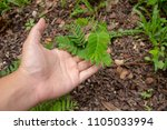 hand of farmer growing and... | Shutterstock . vector #1105033994