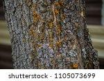 mustard powder lichen...   Shutterstock . vector #1105073699