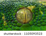 Green Tree Python Eyes  Eye ...