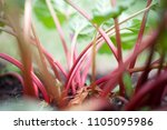 Growing Rhubarb In Home Garden