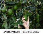 woman's hands harvesting fresh... | Shutterstock . vector #1105112069
