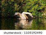 the great white pelican ... | Shutterstock . vector #1105192490
