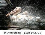 the great white pelican ... | Shutterstock . vector #1105192778