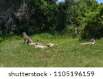 cheetah family resting on grass | Shutterstock . vector #1105196159