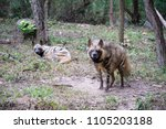 the striped hyena is a species... | Shutterstock . vector #1105203188