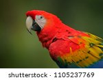 detail of parrot scarlet macaw  ... | Shutterstock . vector #1105237769