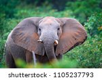 detail of elephant with evening ... | Shutterstock . vector #1105237793