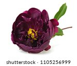 dark purple peony flower on a... | Shutterstock . vector #1105256999