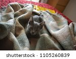 grey kitten on the bed. | Shutterstock . vector #1105260839