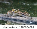 many cute baby ducks on a log | Shutterstock . vector #1105306889