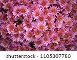 chrysanthemum flower background | Shutterstock . vector #1105307780