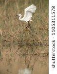 little egret landing at buhair... | Shutterstock . vector #1105311578