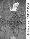 little egret landing | Shutterstock . vector #1105311584