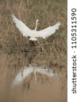 little egret landing at buhair... | Shutterstock . vector #1105311590