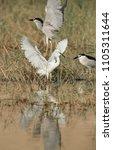 little egret and black crowned... | Shutterstock . vector #1105311644