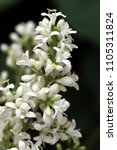 Small photo of white and fragrant small flowers of privet bush
