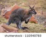 Wallaby  Wildlife And Animals...