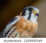 american kestrel sitting on a ...   Shutterstock . vector #1105435169