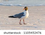 Breeding Adult Laughing Gull