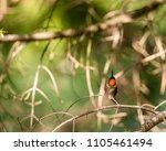 ruby throated hummingbird... | Shutterstock . vector #1105461494