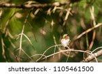 ruby throated hummingbird... | Shutterstock . vector #1105461500
