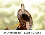 brazilian indians of the pataxo ... | Shutterstock . vector #1105467356