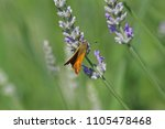 Small photo of Orange skipper butterfly possibly small, Essex or lulworth skipper Latin name thymelicus sylvestris, lineola or acteon from the hesperiidae family feeding a flowering lavender lavandula in Italy