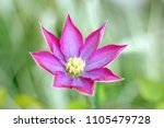 pink and white clematis flower... | Shutterstock . vector #1105479728