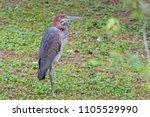 heron giant   ardea goliath... | Shutterstock . vector #1105529990