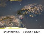 Small photo of Smooching Water Turtles