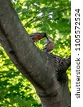Small photo of American Robin Mother is feeding baby bird on the tree with green leaf background.