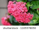 spike flower  pink flower spike ... | Shutterstock . vector #1105578050