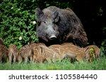 wild boar family | Shutterstock . vector #1105584440