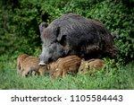 wild boar family | Shutterstock . vector #1105584443