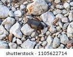 Small photo of Beetle Dytiscidae on the limestone gravel