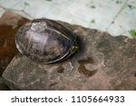 the turtle in the pond in the... | Shutterstock . vector #1105664933