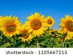 yellow sunflowers grow in the... | Shutterstock . vector #1105667213