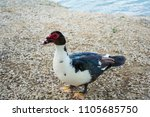 muscovy duck is a really... | Shutterstock . vector #1105685750