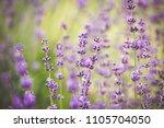 blooming lavender flowers | Shutterstock . vector #1105704050