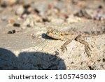 lizard on stone | Shutterstock . vector #1105745039