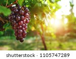 Ripe Grapes Hung On Vineyards...