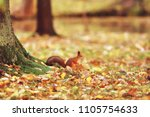 squirrel in autumn   autumn... | Shutterstock . vector #1105754633