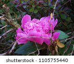 peony entwined with barberry | Shutterstock . vector #1105755440