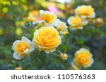 Some Orange Yellow Roses In The ...